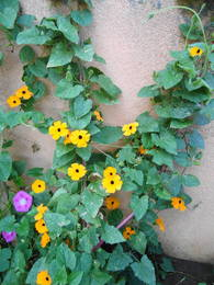 Black eyed Susan vine with yellow and orange blooms, climbing on my fence
