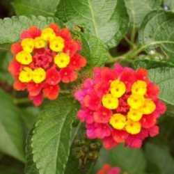 Lantana Colorful Easy Annual Or Weedy Menace Dave 39 S