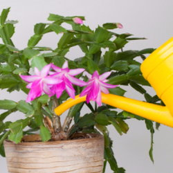 Watering a house plant