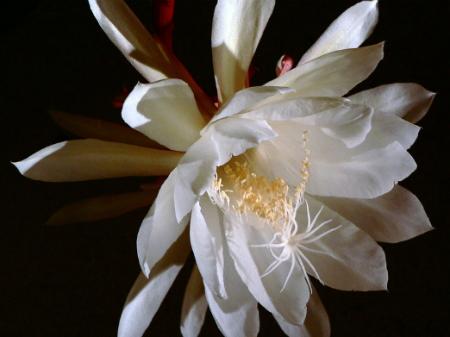 Queen of the Night cereus cactus