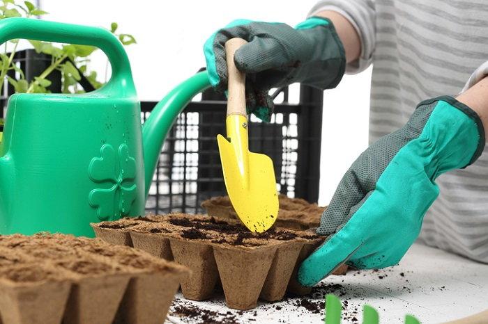 Planting peanut plants.