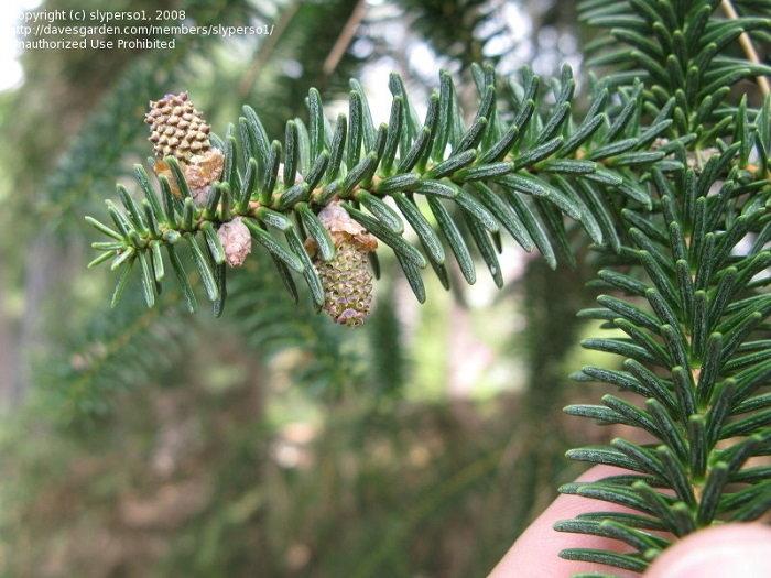 Spanish fir