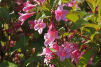 Weigela Wine And Roses Companion Plants Rytir