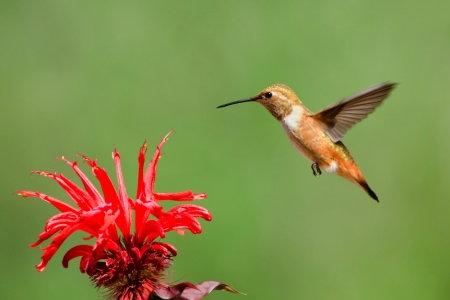 Flower Hummingbirds Attracted That Attract Hummingbirds