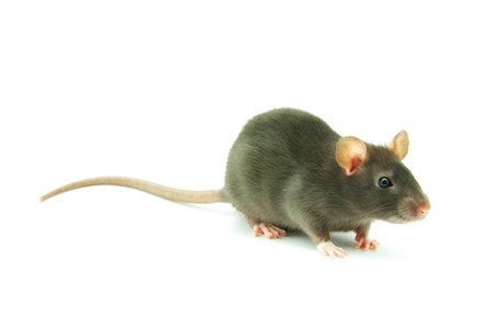 How To Get Rid Of Rats In Your Crawl Space Doityourself Com