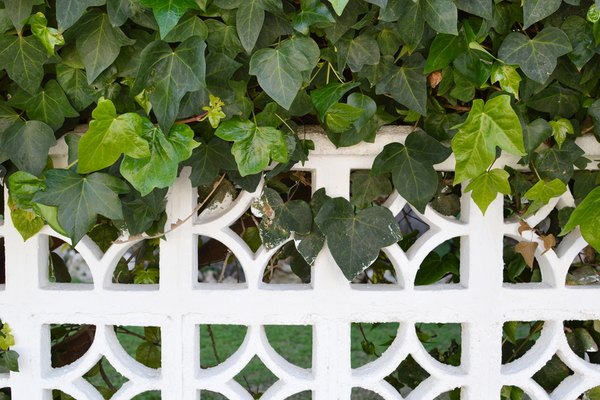 How to plant fast growing ivy to cover your fence for Fast growing fence covering plants