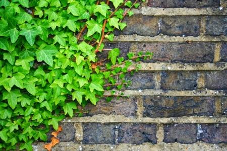 Fabulous Evergreen Groundcovers Propogating English Ivy