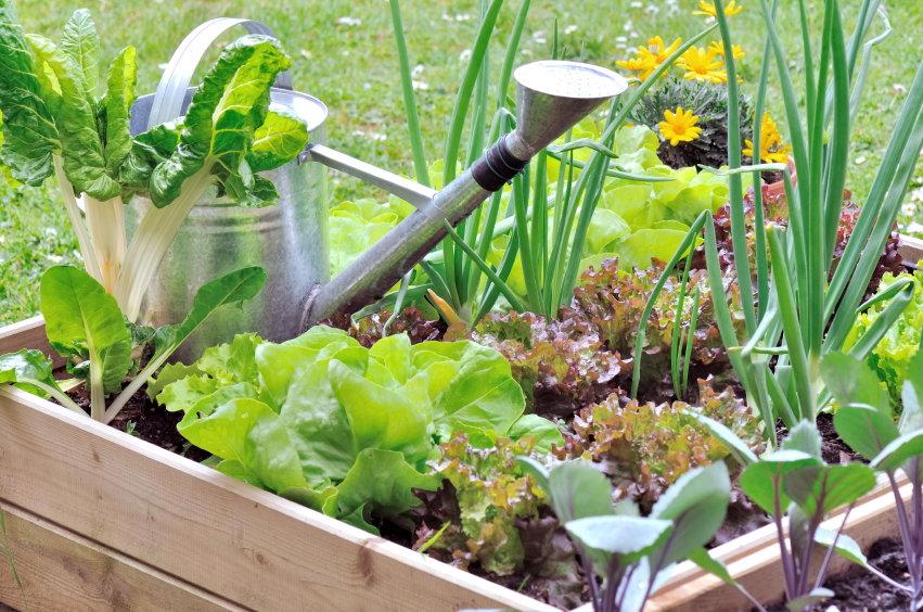 raised garden with lettuce