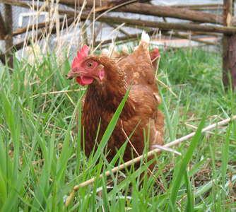 chicken moat
