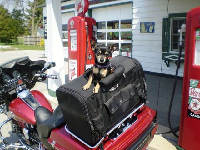 Harley Davidson Dogs On Harleys Hdforums