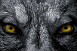 The evil wolf's petrifying stare