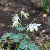 5.8.13 Aquilegia vulgaris with blue green foliage and white flowers still in bloom.
