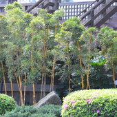 Bamboo out side Japan.