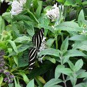 Butterfly in butterfly house.