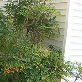 Overgrown nandina in alcove between garage and house