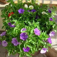Blue Denim Petunias