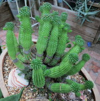 Euphorbia susannae too