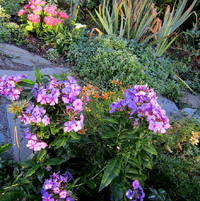 Phlox paniculata Flame deep purple with sedum Beach party and nepeta L ttle Titch