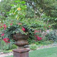 In 2011 the tall urns had 'Charles Grimaldi' Brugmansia and bougainvilla