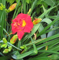This double red daylily is a dependable anchor in the bordeer