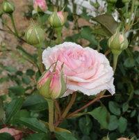 James Galaway English Rose by David Austin (2 years old)