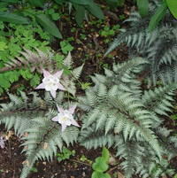 Japanese Fern