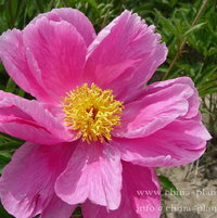 herbaceous peony pink minion