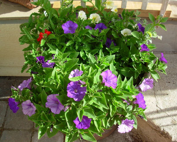 Blue Denim Petunias