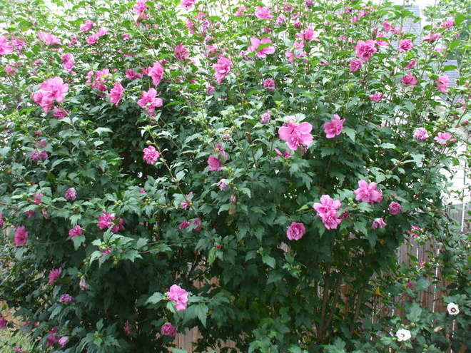 Rose of Sharon hedge grows along fence