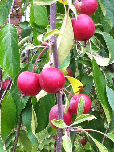 Plum Village Plums