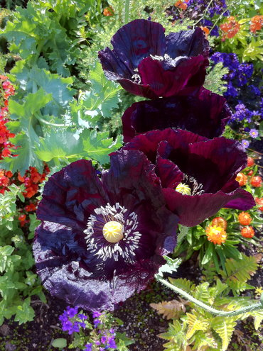 Poppy Single Black from annies annuals, you only get about 2 days form the blooms but the color is exactly like eggplant