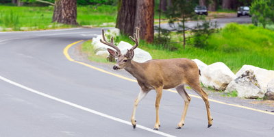 Be Warned: Deer Auto Accidents Always Spike During the Fall