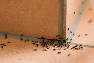 An ant trail on a tile kitchen floor.