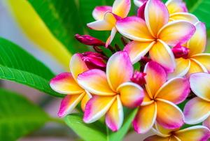 beautiful multi colored plumeria flowers