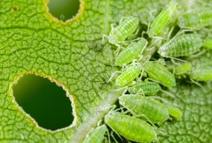 aphids eating a leaf