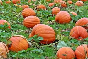 pumpkins growing in a field