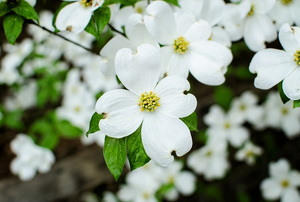 White flowers of the dogwood tree