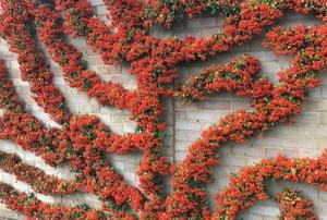 beautiful flowering espaliered tree with berries