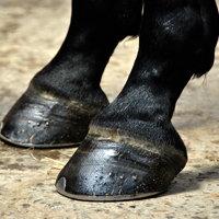 Lameness in Horses Can Be Hoof Related