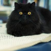 Feline Asthma Requires Veterinary Care