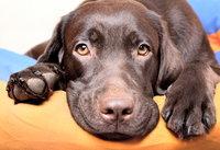 Pet chronic dry eye