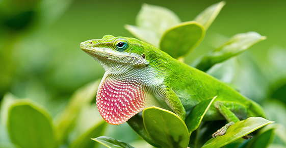 Image of a green anole.