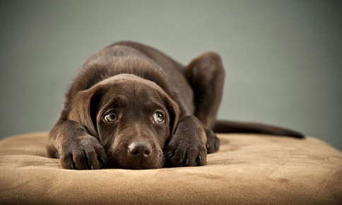 image of brown labrador puppy laying down
