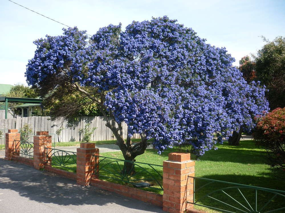 blue blooming tree
