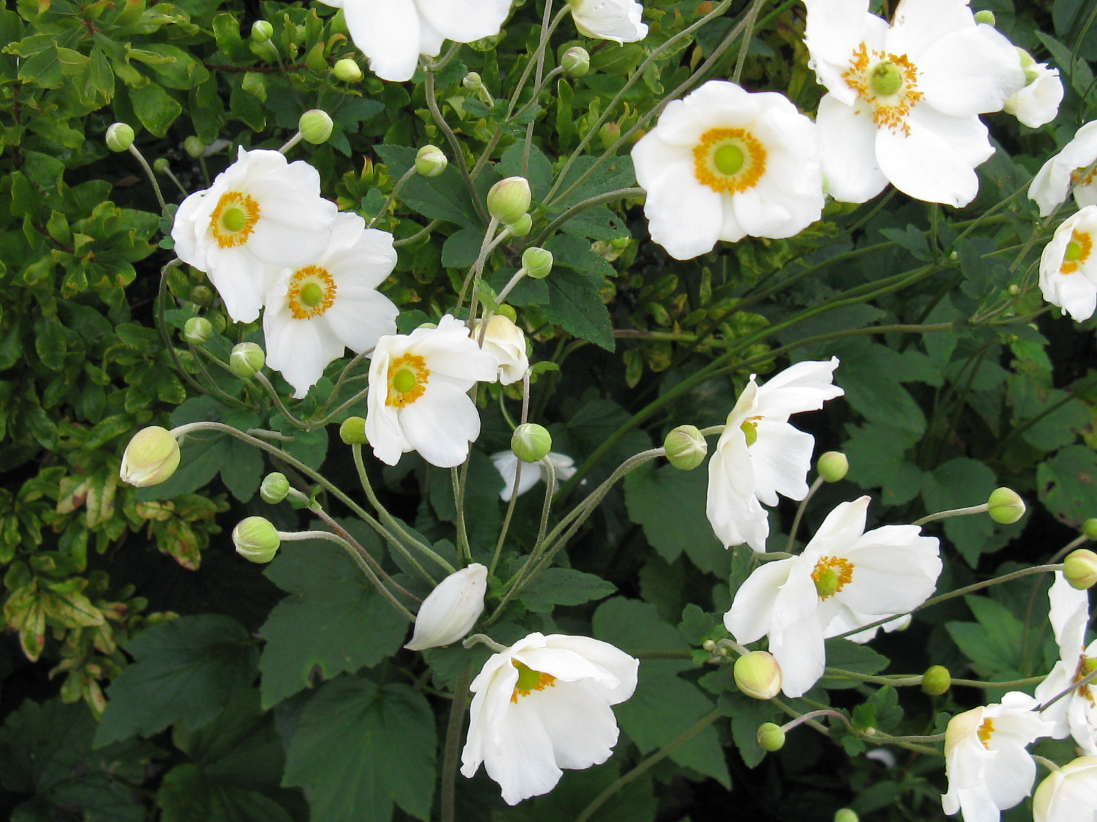 Anemone in bloom