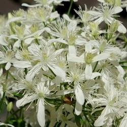 sweet autumn clematis blooms