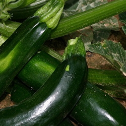 Zucchini on vine with blossom