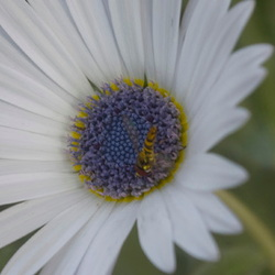 Beautiful Arctotis venusta