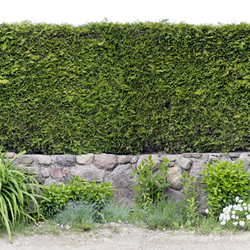 Trimmed hedges on stone perimeter of a yard