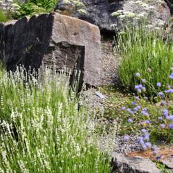 Alpine rock garden